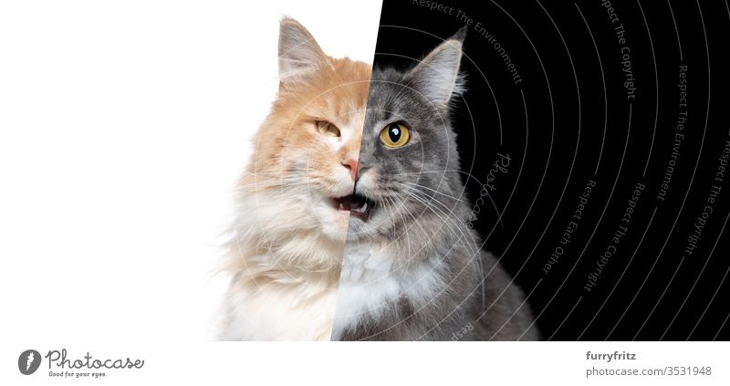 Photo manipulation of two Maine Coon cats of different colours showing half the face each Cat One animal indoors Studio shot black background Isolated