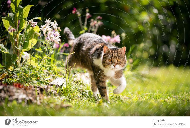 British shorthair cat running through the sunny garden with spring flowers Cat purebred cat pets tabby British Shorthair White Outdoors green Garden