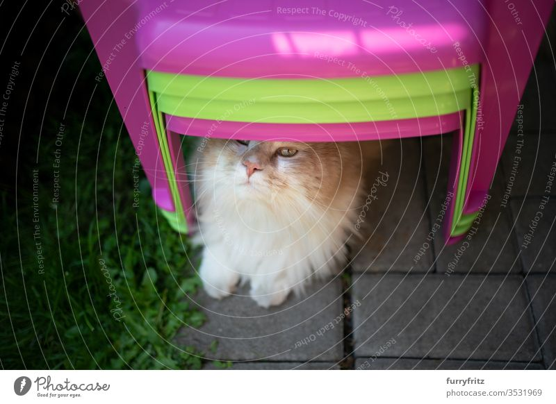 curious Maine Coon cat, lying on the floor under some colorful children's chairs and looking up Cat purebred cat pets Longhaired cat White cream Beige Fawn