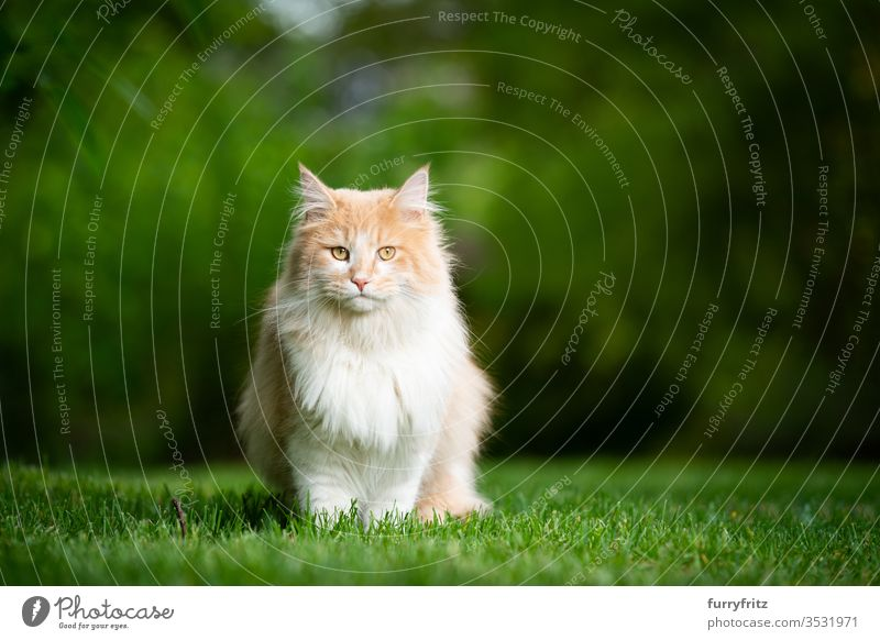 Maine Coon cat sits in the garden in nature and looks into the camera Cat purebred cat pets Longhaired cat White cream Beige Fawn Outdoors green Garden