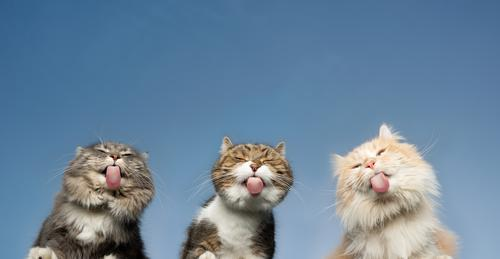 Bottom view of three cats licking invisible window panes in front of a clear blue sky Cat pets purebred cat Longhaired cat Maine Coon White cream tabby Fawn