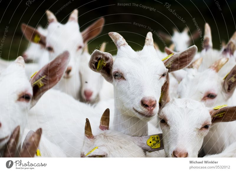 White goats peasant Buck Pelt kid Goats Herd horns young animal fawn Lamb Agriculture Michael Winkler Micwinc Milk sheep Animal Exterior shot Farm animal Sheep