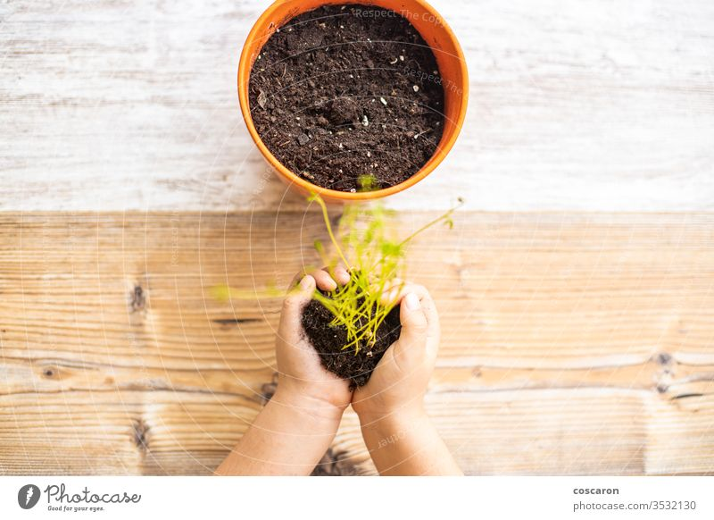 Little kid planting a lentils plant on a pot agricultural agriculture care caucasian child childhood confinement cultivate cultivated cultivation dirty domestic