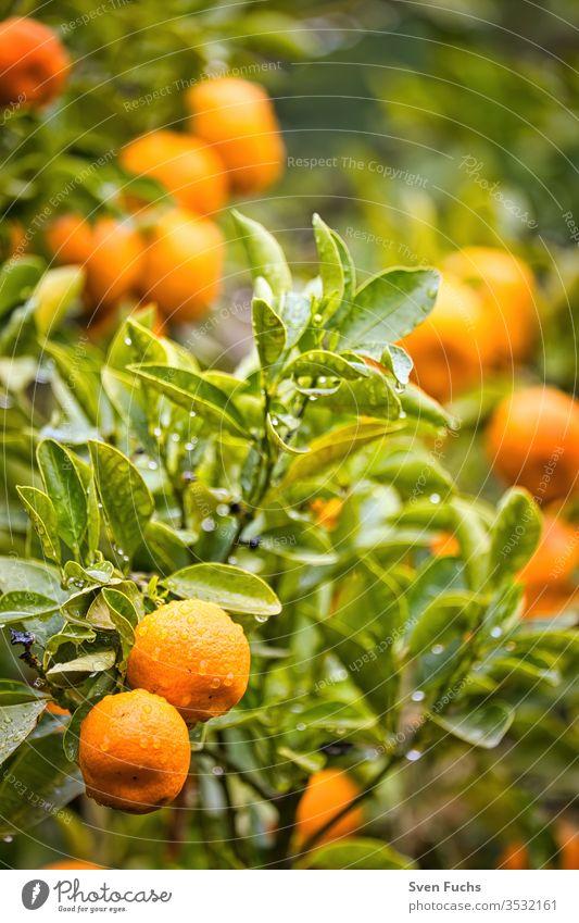 Ripe mandarins on a mandarin tree fruits vitamins Rain Wet Plant Garden Nature natural green Fresh Food flaked Yellow background salubriously Colour Orange