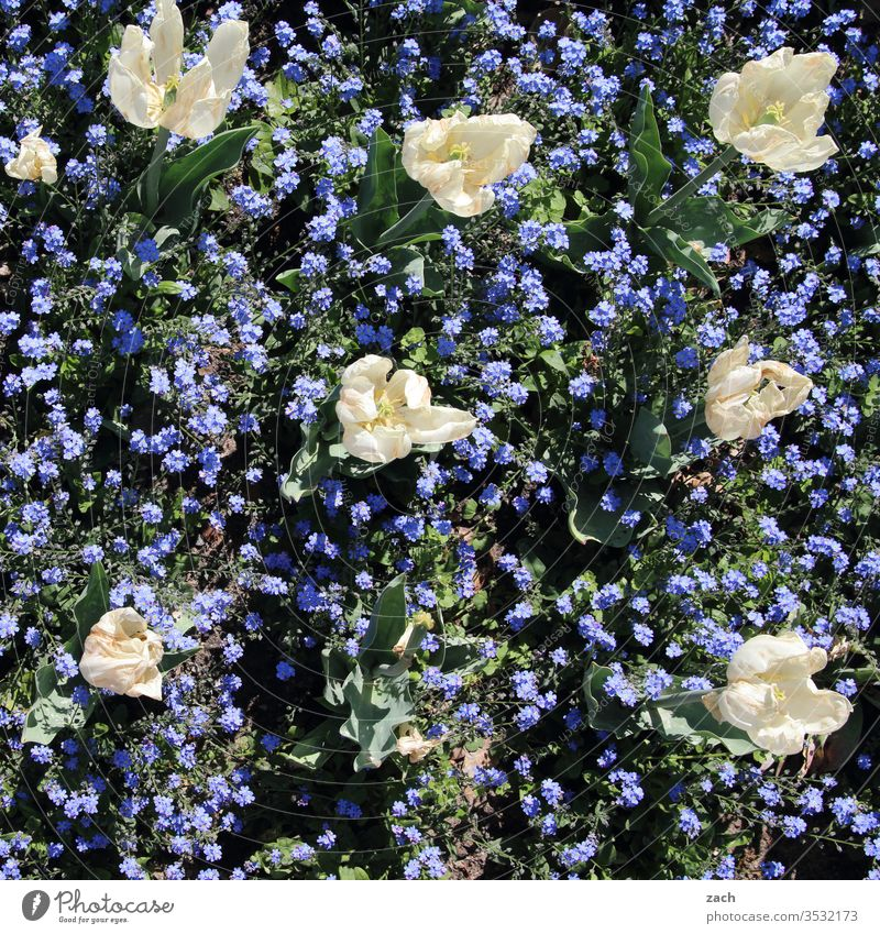 Tulips and forget-me-nots bloom in a bed flowers bleed Plant Garden Bed (Horticulture) White Blue blossom Blossoming green Summer spring Nature Growth