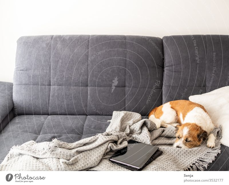 Little terrier dog sleeping on a grey couch next to a tray on a blanket Dog Terrier Couch Sleep social distance stay at home Cozy hygge Wool blanket Gray