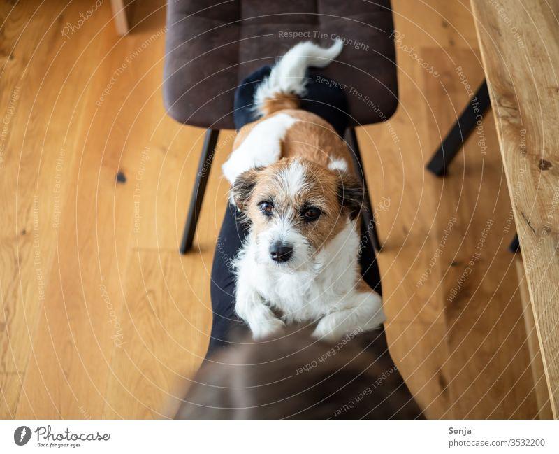 Kleiner Terrier Hund liegt auf den Beinen einer Frau mit Blick in die Kamera klein bequem liegen hygge Soziale distanz stay home Mischlingshud tier haustier