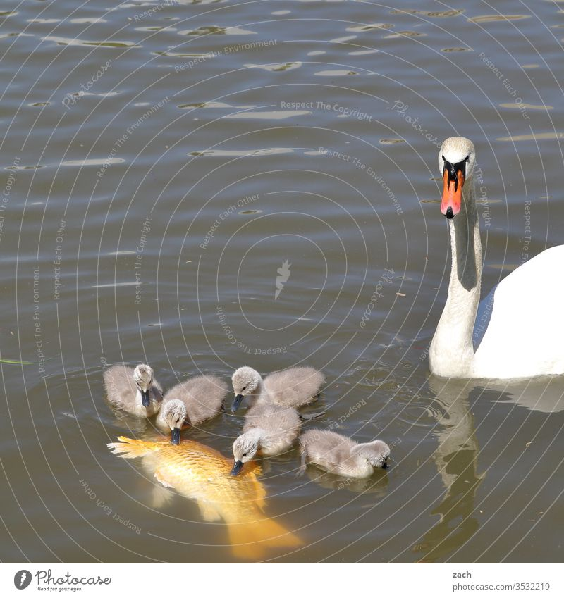 Swan and swan boy eating a koi carp Chick Animal Fish Koi Carp Koi carp Water Pond Lake swan chicks Swan Cub Family & Relations Mother Father To feed Eating