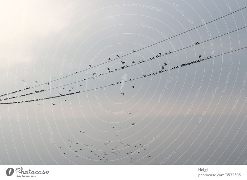 2300 | many starlings sit on several power lines in the evening sun, some fly around Stare birds Migratory bird bird migration rest Sky Power lines Evening sun