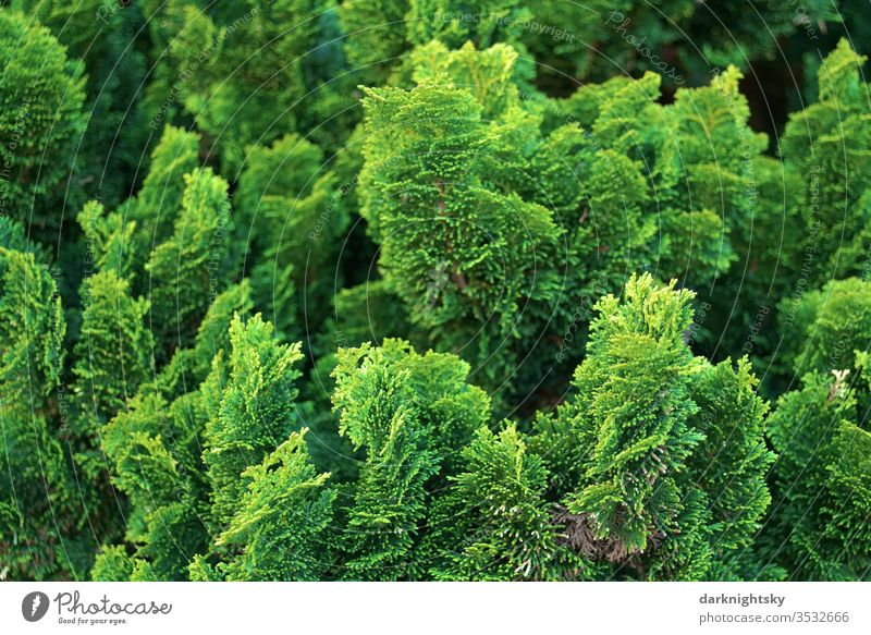 Tree of life Conifers Hedge in detail Thuja green Deserted Colour photo bushes Garden Park Conifere Evergreen evergreen plant flaked Exterior shot Nature fresh