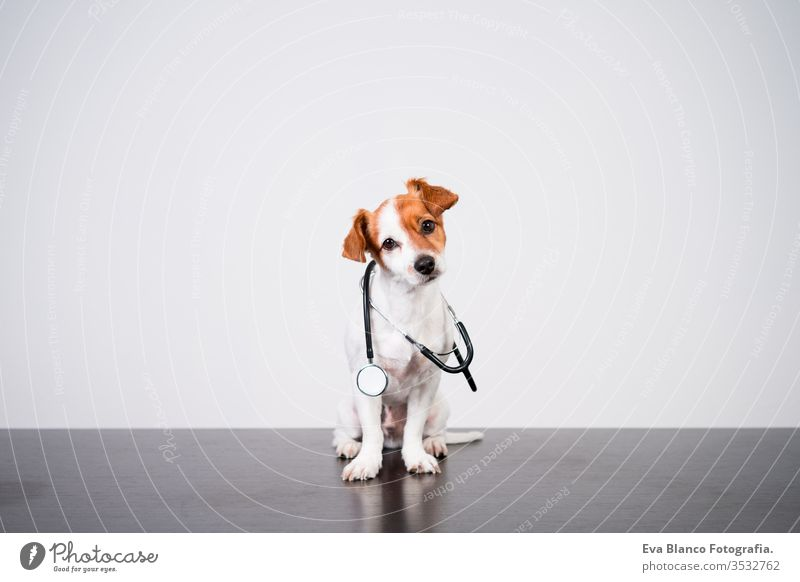 cute jack russell dog at veterinary clinic. Holding a stethoscope. Veterinary concept veterinarian pet injury indoor small sweet isolated job doctor patient
