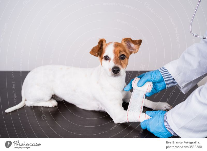 veterinarian man working on clinic with cute small jack russell dog. Wearing protective gloves and mask during quarantine. Doctor doing bandage on paws. Pets healthcare