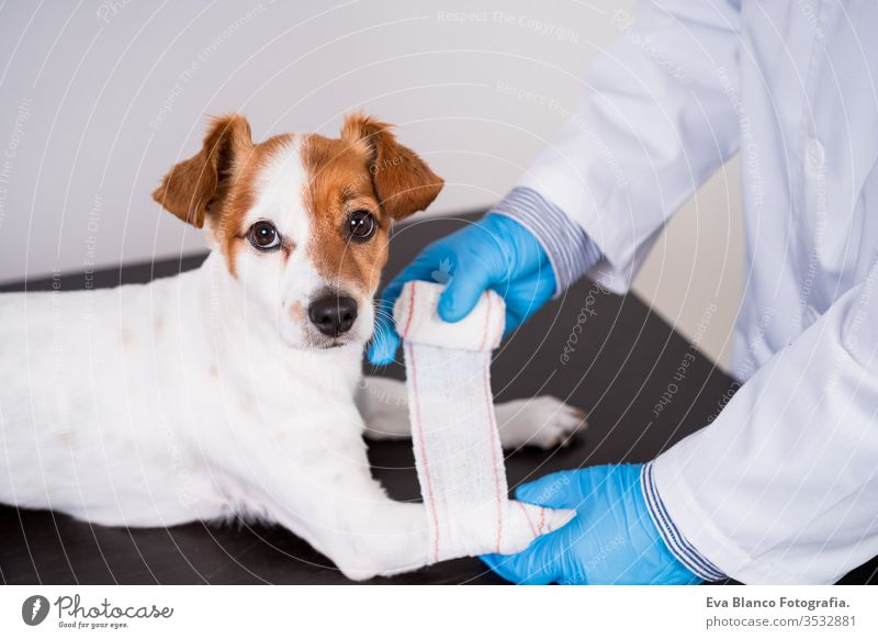 v bandage checking veterinarian man doctor dog pet jack russell coronavirus covid-2019 protective mask gloves exam white cute adult examining sick young