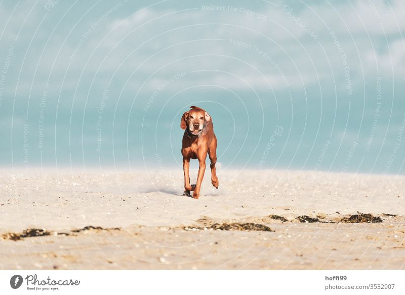 Dog on the beach runs with ball to master/mistress and just wants to play great Beach Pet Sand Animal Ocean Puppy Purebred Friendship Summer Playing luck Action