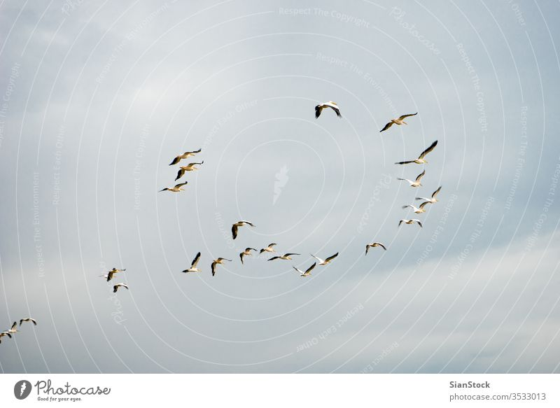 Flocks of pelicans flying in the air on Greece white silhouette ocean bird nature sun animal north gulf hula brown large flock pelecanus occidentalis pattern