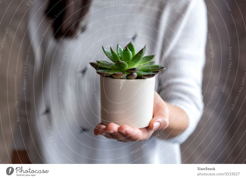 Woman holding succulent plant pot flower woman hands florist gift floral white indoor Succulent. background show person female bloom botanical flowers green