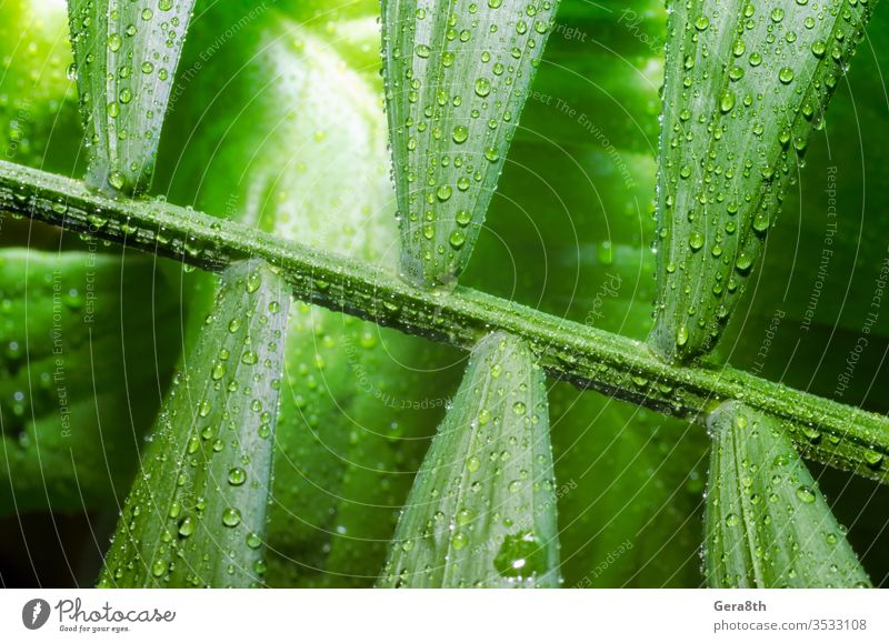 green leaf of a tropical plant with dew drops close up backdrop background bamboo palm bright closeup dew pattern environment flora floristry forest fresh