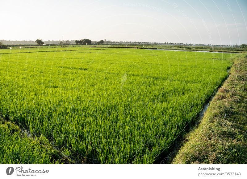 Rice field near Hoi An, Vietnam Paddy field Asia green Agriculture Rice farmer Nature Landscape Exterior shot Field Colour photo Environment Deserted Day Plant