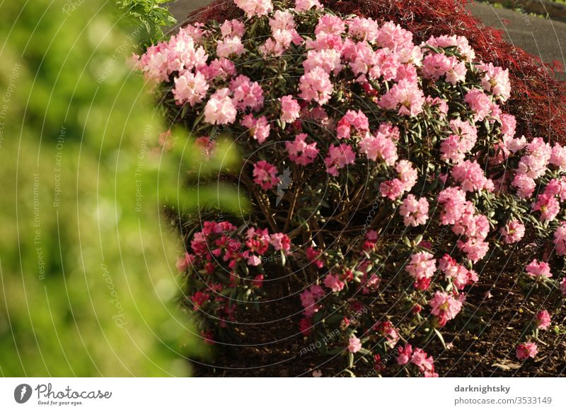 Rhododendron shrub in a garden Rhododendrom flourishing Frphling red Bright red light red Garden green Bright green blurred Blur bokeh Pink bleed Nature