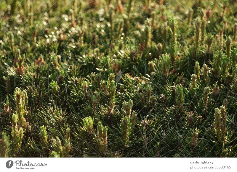 Pine conifers hedge in detail Thuja green Hedge Deserted Colour photo bushes Garden Park Conifere Evergreen evergreen plant flaked Exterior shot Nature fresh