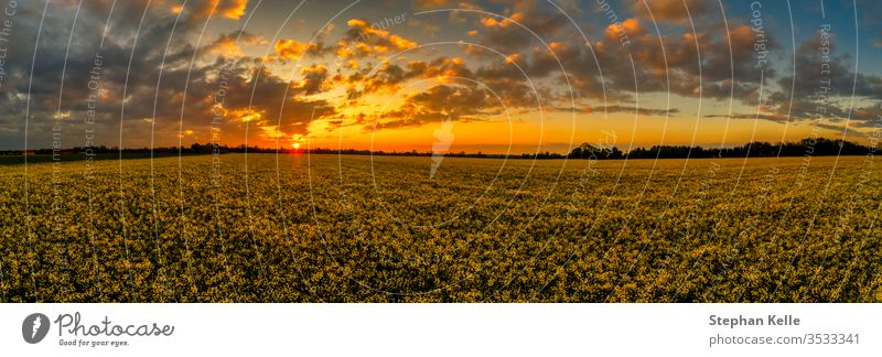 Sunset panoramic view over a blloming yellow rapeseed field at spring with orange clouds and the undergoing sun at the horizon as an impressive background.