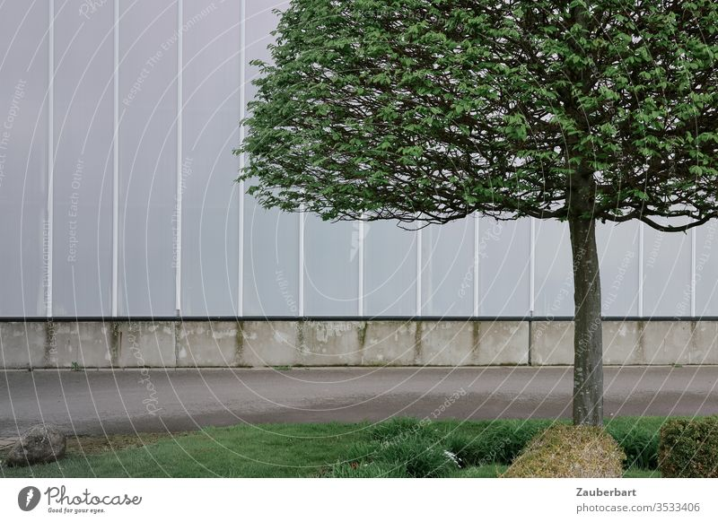 Beech tree with trimmed crown and slender trunk stands in front of a light grey wall beeches Treetop Trimmed Wall (building) light gray off Asphalt Grass Lawn