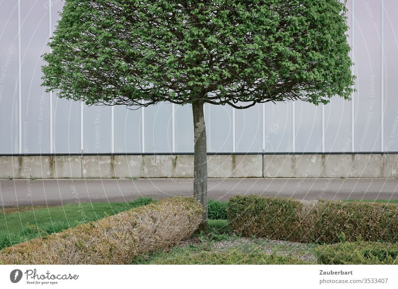 Beech with slender trunk and trimmed crown stands symmetrically in front of a light grey wall beeches tree Treetop Trimmed Wall (building) light gray off