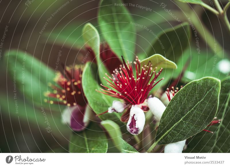 Exotic red flowers of Pineapple Guava tree also known as Feijoa Sellowiana bloom blossom botanic botanical botany flora floral petals flowery garden organic