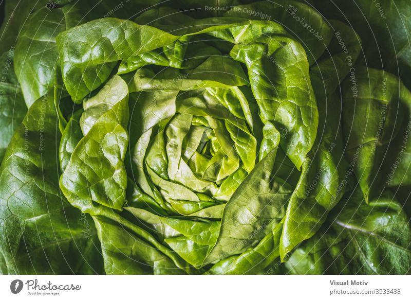 Green and fresh leaves of an organic Butterhead lettuce also known as Butter lettuce, Boston lettuce or Bibb lettuce agriculture background boston lettuce