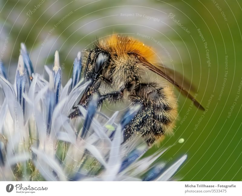 Bee on a flower Honey bee Apis mellifera Head Eyes Feeler Grand piano Legs Tiny hair flowers bleed Insect Sprinkle pollination Nectar Pollen amass Useful Small