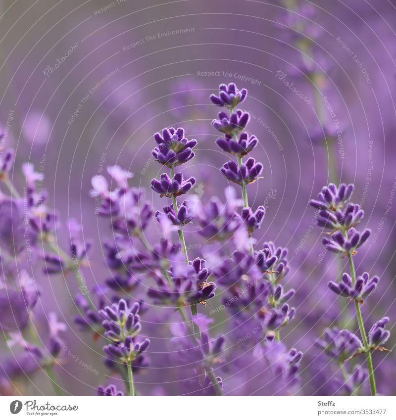 Lavender flowers violet and scented lavender blossom Fragrance fragrances purple Violet flowering lavender bleed lavender flowers fragrant Aromatic Blossoming