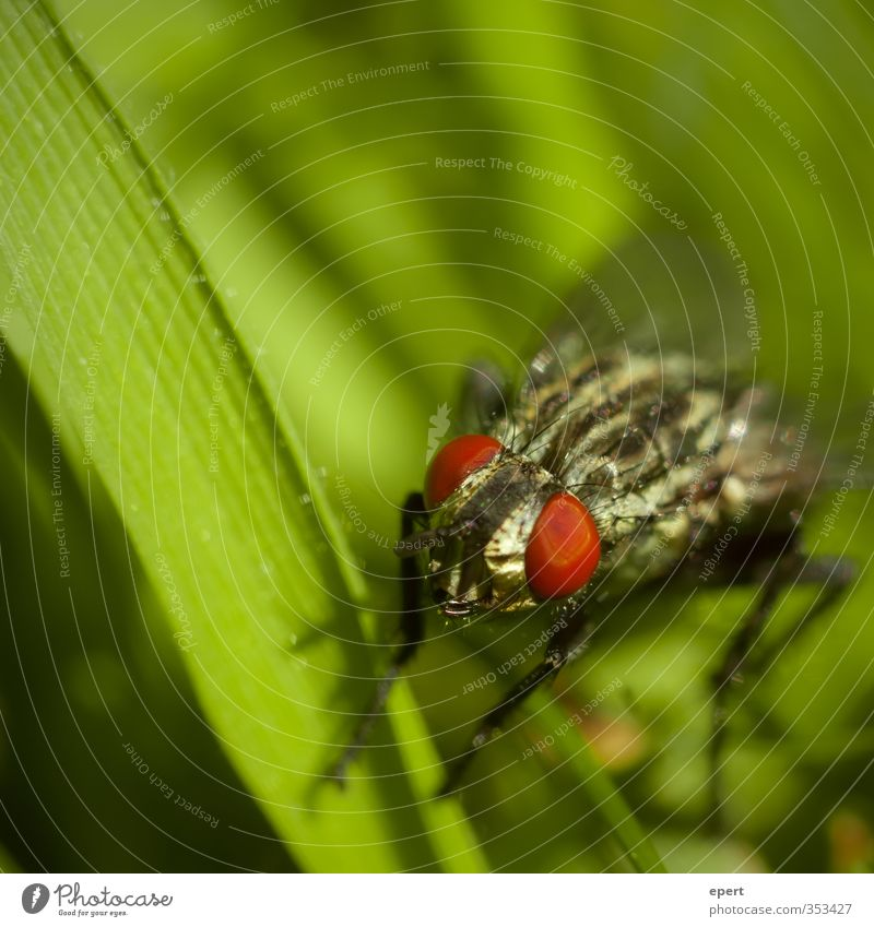 Tomatoes on the eyes Grass Animal Fly Eyes 1 Green Red Colour Insect Colour photo Exterior shot Close-up Detail Macro (Extreme close-up)