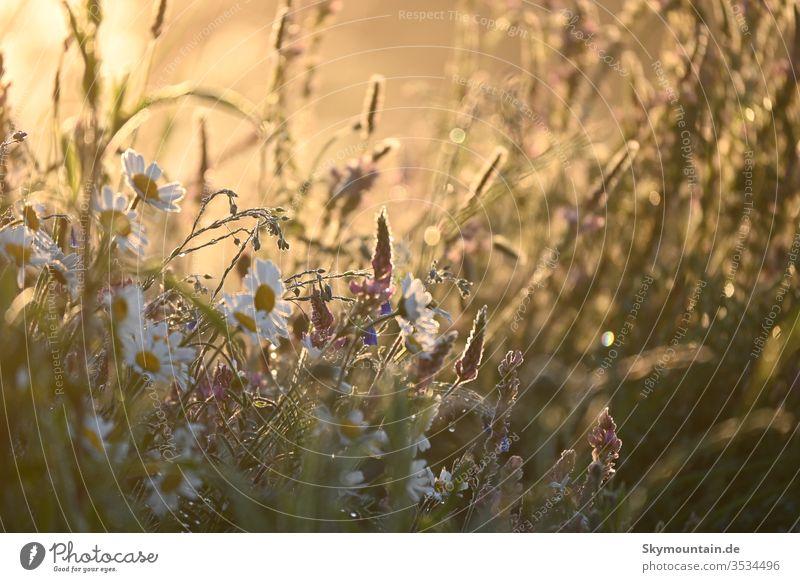 Flowers in romantic sunlight Sunlight Sunset Sunrise Magyarites Clover espersette Flax Sage salvia Grass Meadow Field Nature Environment