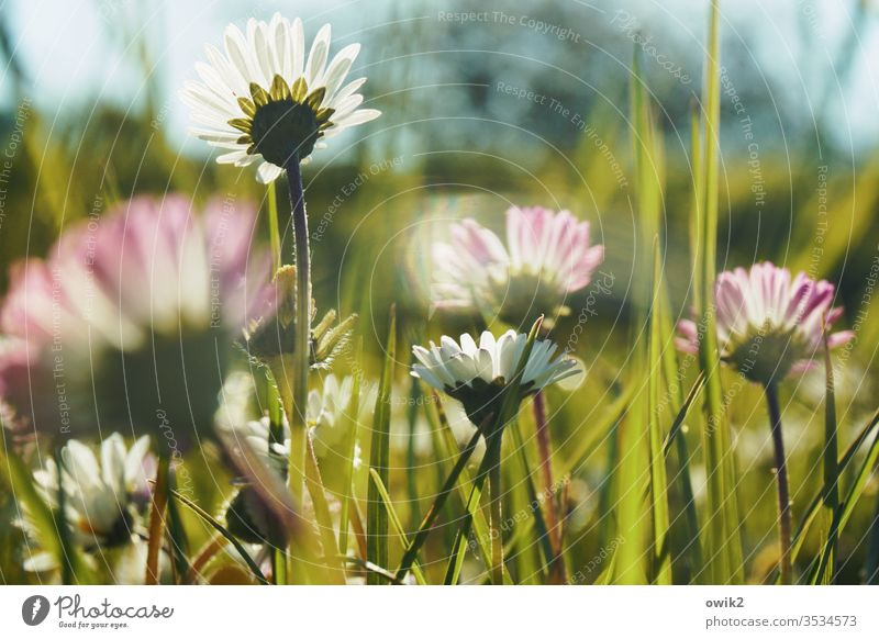 Monthly revenue Daisy Meadow Flower meadow bleed flowers Idyll stalks little flowers spring Grass green Nature White Close-up Plant Colour photo