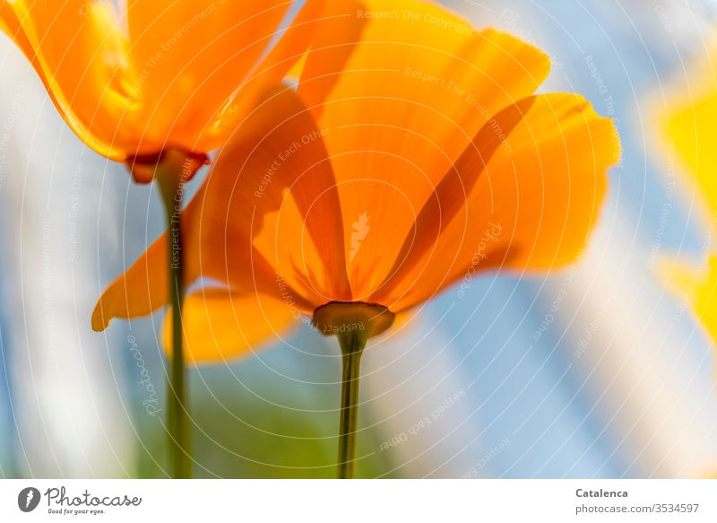 A Monday in an orange mood Poppy blossom flowers Plant bleed Blossoming withering spring Garden Meadow Nature Growth Environment Orange green Blue