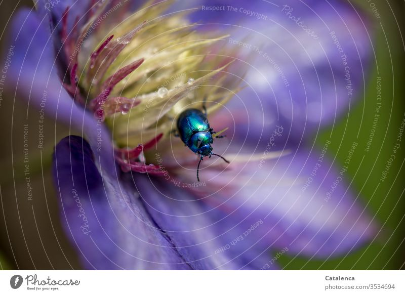 The sky-blue leaf beetle crawls in the clematis flower decorated with water droplets. withering Macro (Extreme close-up) Shallow depth of field Detail purple