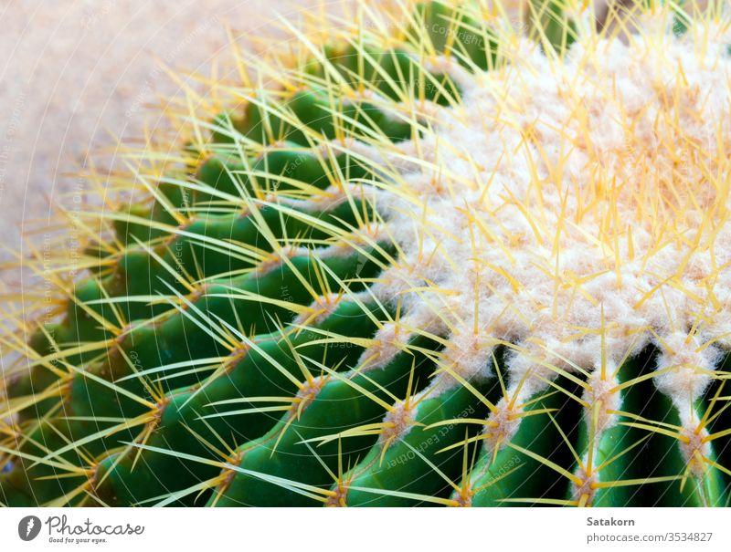 Cactus species Echinocactus grusonii, golden barrel cactus succulent nature green yellow white plant echino beautiful decoration closeup fresh garden background