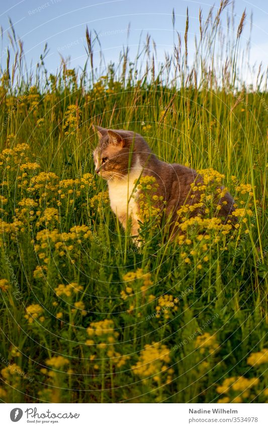 Cat in a flower meadow Animal Pet tortoiseshell Domestic cat Observe Sit relax on the lookout Meadow Flower meadow green Yellow bleed flowers wild flowers