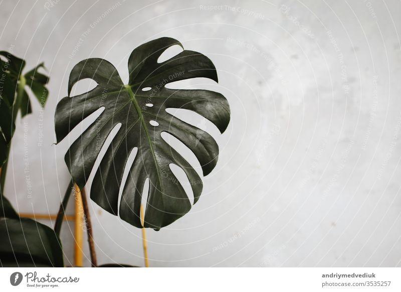 Big green leaf for flower arrangement. exotic jungle plant leaf. beautiful background with leaves. selective focus. florist monstera big popular choice texture