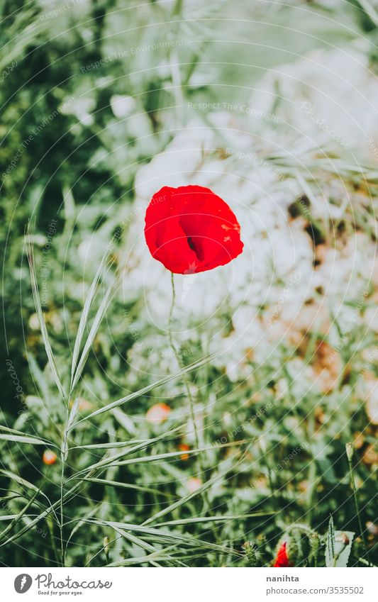 Beautiful red poppy blossoming in spring intense flower bloom in bloom beaurtiful background season seasonal green color vibrant spring fever wild natural