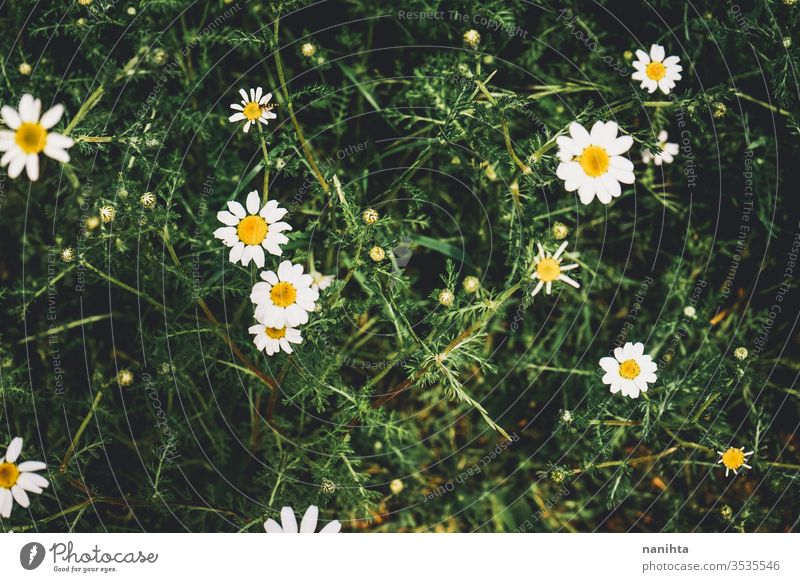 Beautiful daisies background in spring flowers abstratc beautiful springtime green seasonal fresh bloom in bloom lovely daisy little bokeh wild free freshness