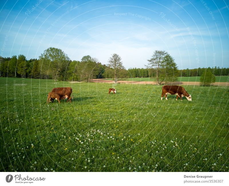 Dairy cows with calves in Germany calf livestock dairy agriculture pasture farm bovine animal cattle farming field grass green rural farmland holstein nature