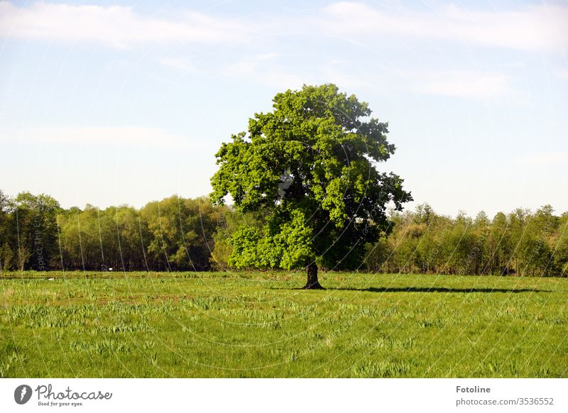 A beautiful, free-standing tree on a green meadow in the Ilkerbruch nature reserve Sky Clouds Blue Meadow Grass Nature Landscape Day Colour photo Exterior shot