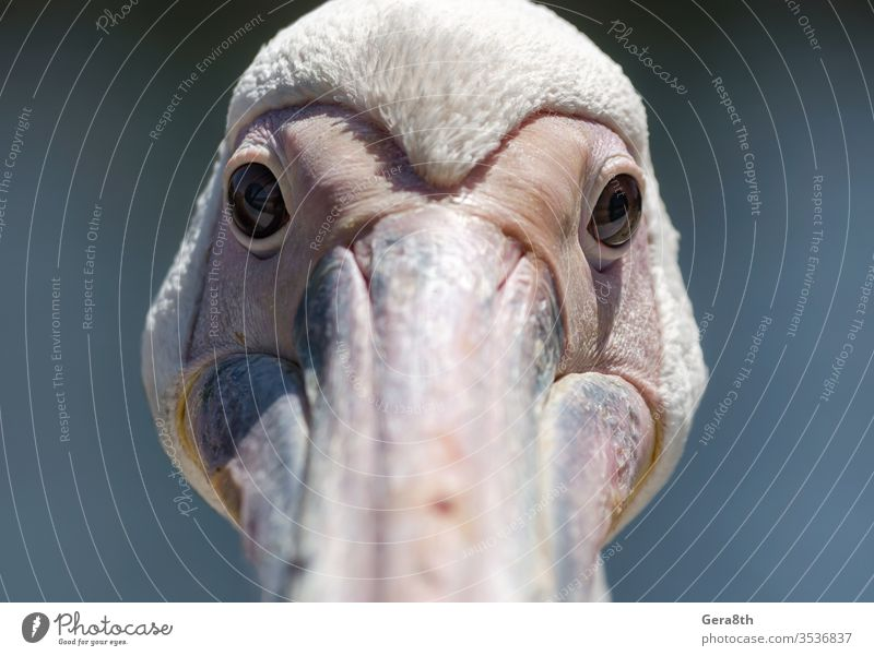 portrait of a large white pelican close up animal beach beak big bird blue clear clear water coast color day detailed exotic eye feathers flood fresh water head
