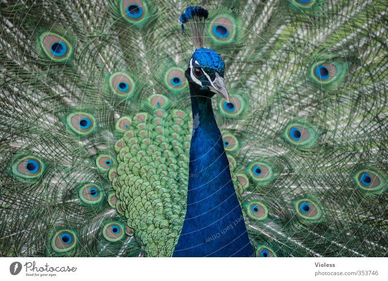 Blue Love Esthetic Feather Kitsch Animal face Zoo Spring fever Peacock Rutting season Peacock feather Pheasant family
