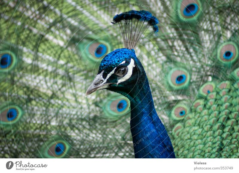 ...I'll bluejack Bird Rutting season Esthetic Exotic Blue Peacock Feather Peacock feather peacock butterfly peacock cock Headdress Colour photo Animal portrait