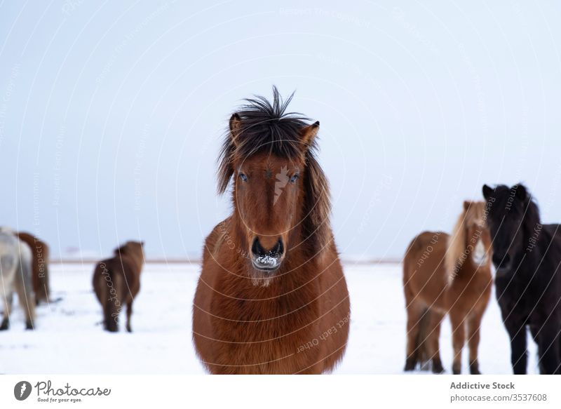 Brown horse looking at camera while grazing with herd snow north cold wild plain winter field nature sky frost animal landscape outdoors season ice frozen