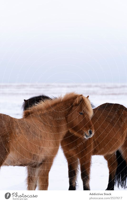 Brown horse looking grazing with herd snow north cold wild plain winter field nature sky frost animal landscape outdoors season ice frozen travel paddock equine