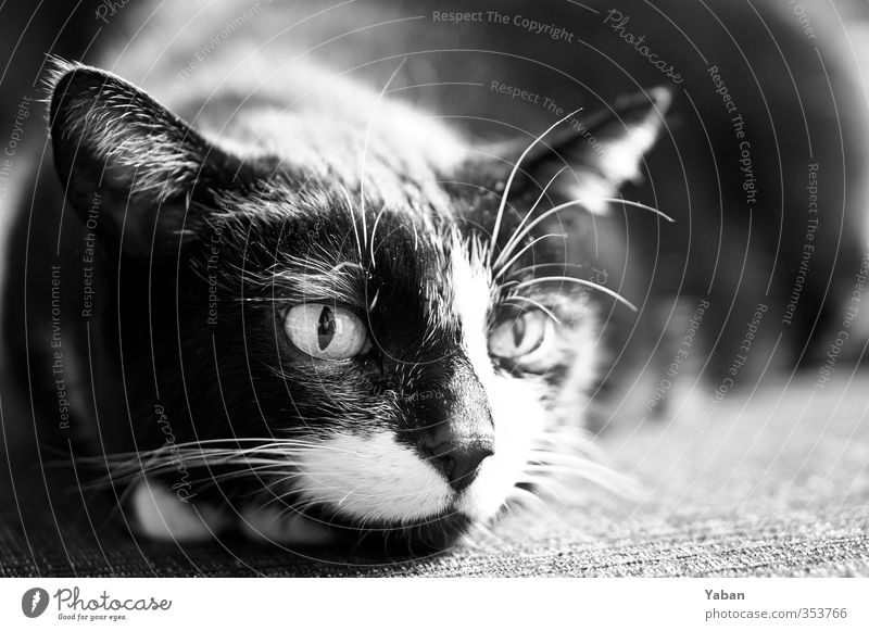 Scratching motherf***** Animal Pet Cat Animal face 1 Aggression Feminine Wild Black White Love of animals Grouchy Black & white photo Interior shot