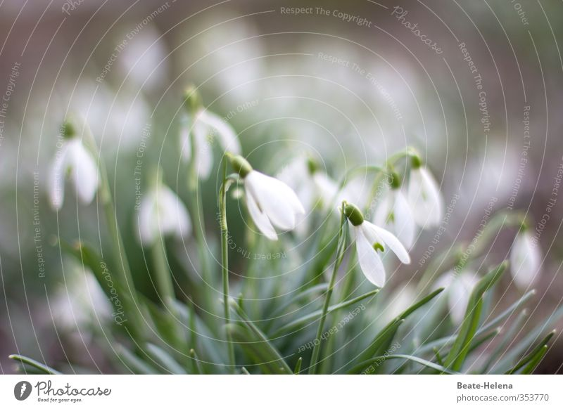 We ring in spring! Nature Plant Spring Flower Snowdrop Garden Park Breathe To enjoy Friendliness Happiness Beautiful Positive Clean Green White Emotions Joy